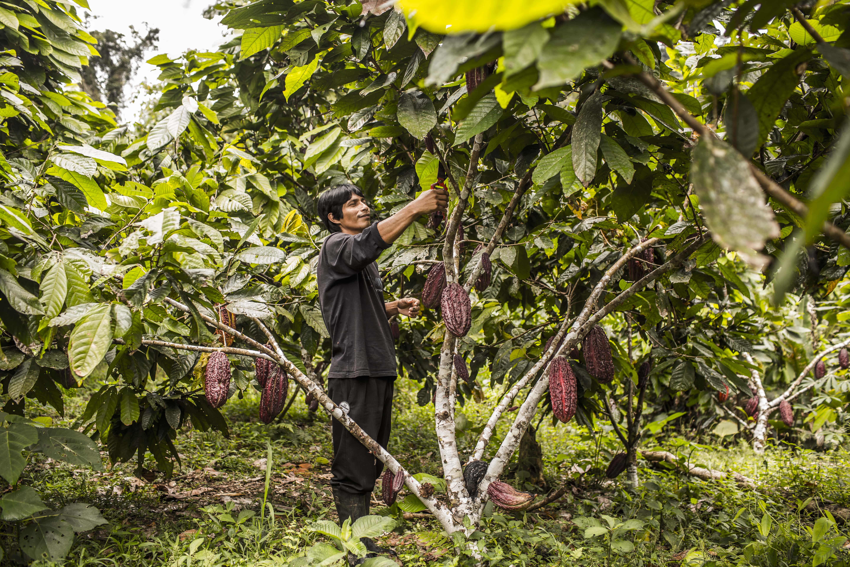 Producción de cacao de los Awajun en la Amazonía en Perú Image principale
