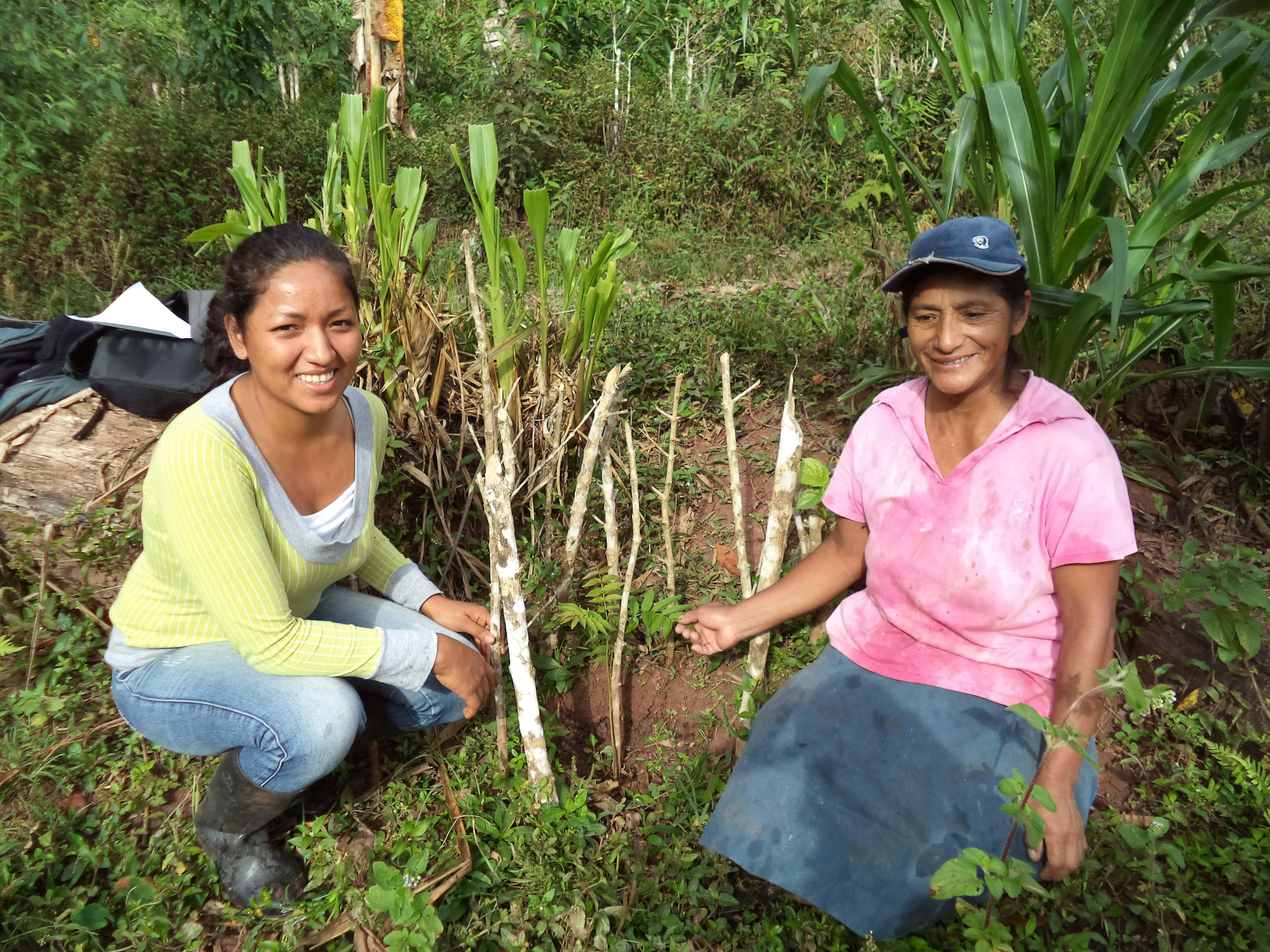 Agroforesterie en zone caféière et cacaoyère au Pérou  - es-es -> à traduire Vignette