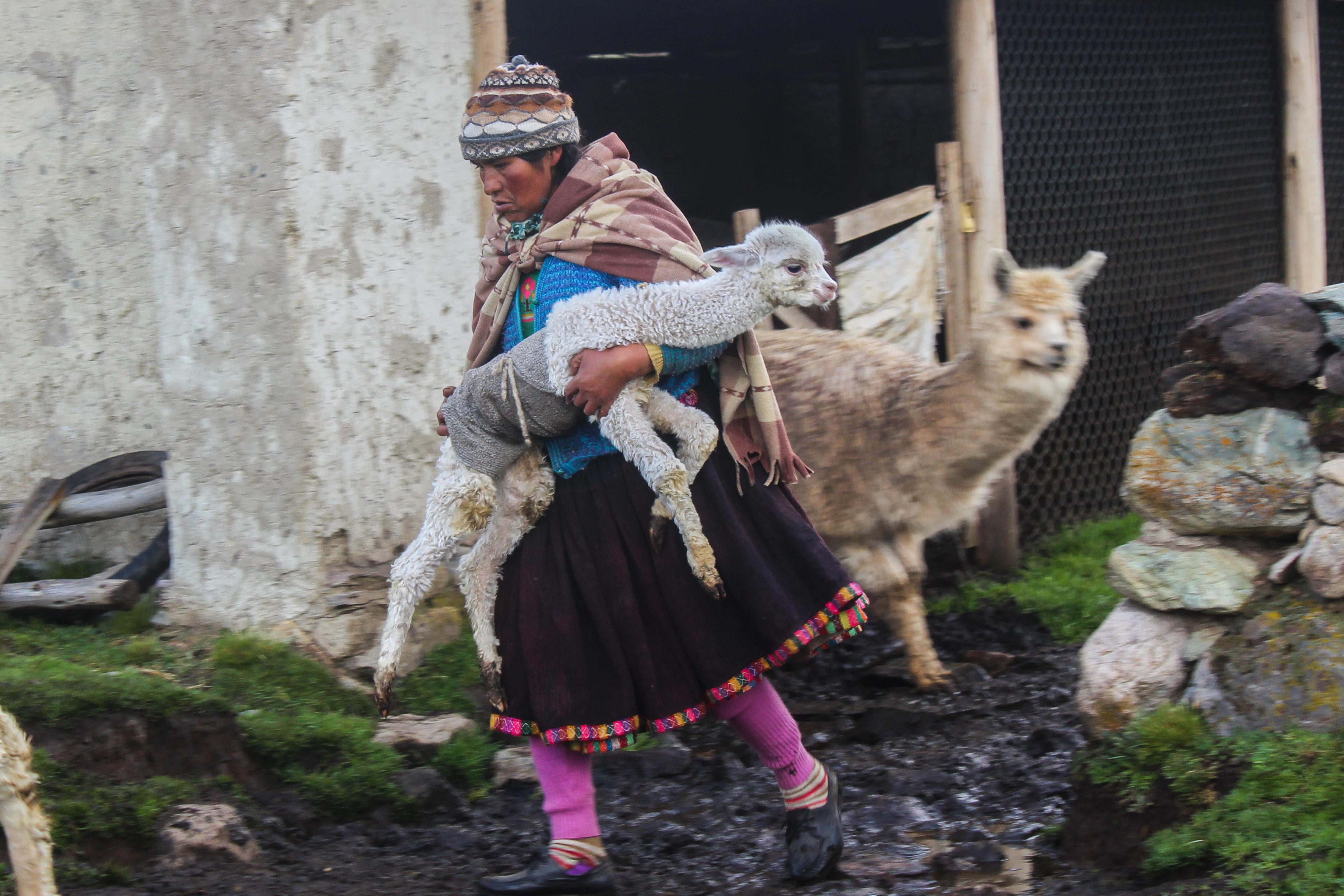 Laine d'alpacas dans les Andes centrales au Pérou Vignette