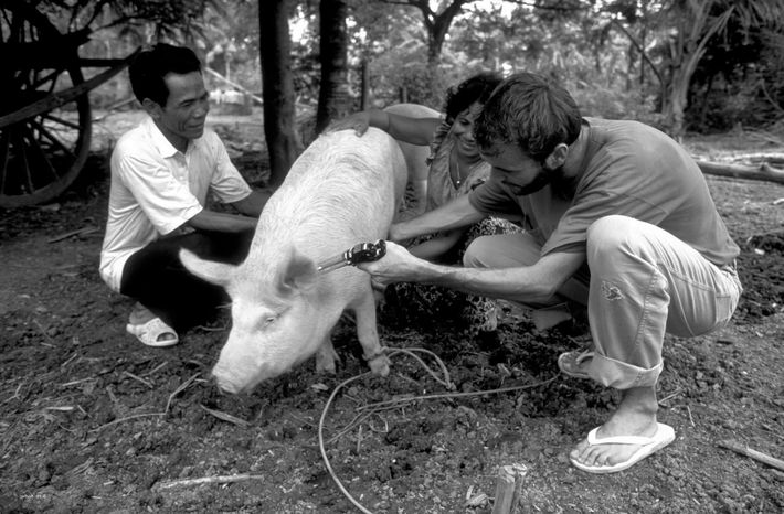 Vaccination d'un cochon au Cambodge (Photo P.Rocher)