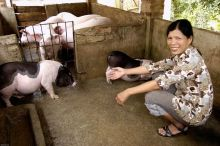 Peri-urban smallholder livestock farming in the Ho Chi Minh province Vignette