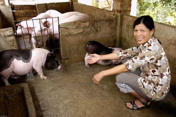 Peri-urban smallholder livestock farming in the Ho Chi Minh province Image principale