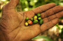Food security and high-quality coffee in Haiti Vignette