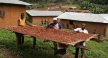 Cacao orgánico y de comercio justo en Togo Viñeta