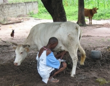 Produccion lechera campesina en el Sur de Senegal Viñeta