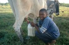 Una cadena lechera local en Haiti Viñeta
