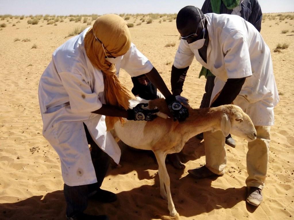 Vaccination bétail.jpg