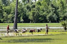 Une filière rizicole mieux structurée au Cambodge Vignette