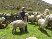 Des élevages de lama performants sur l'altiplano bolivien Vignette