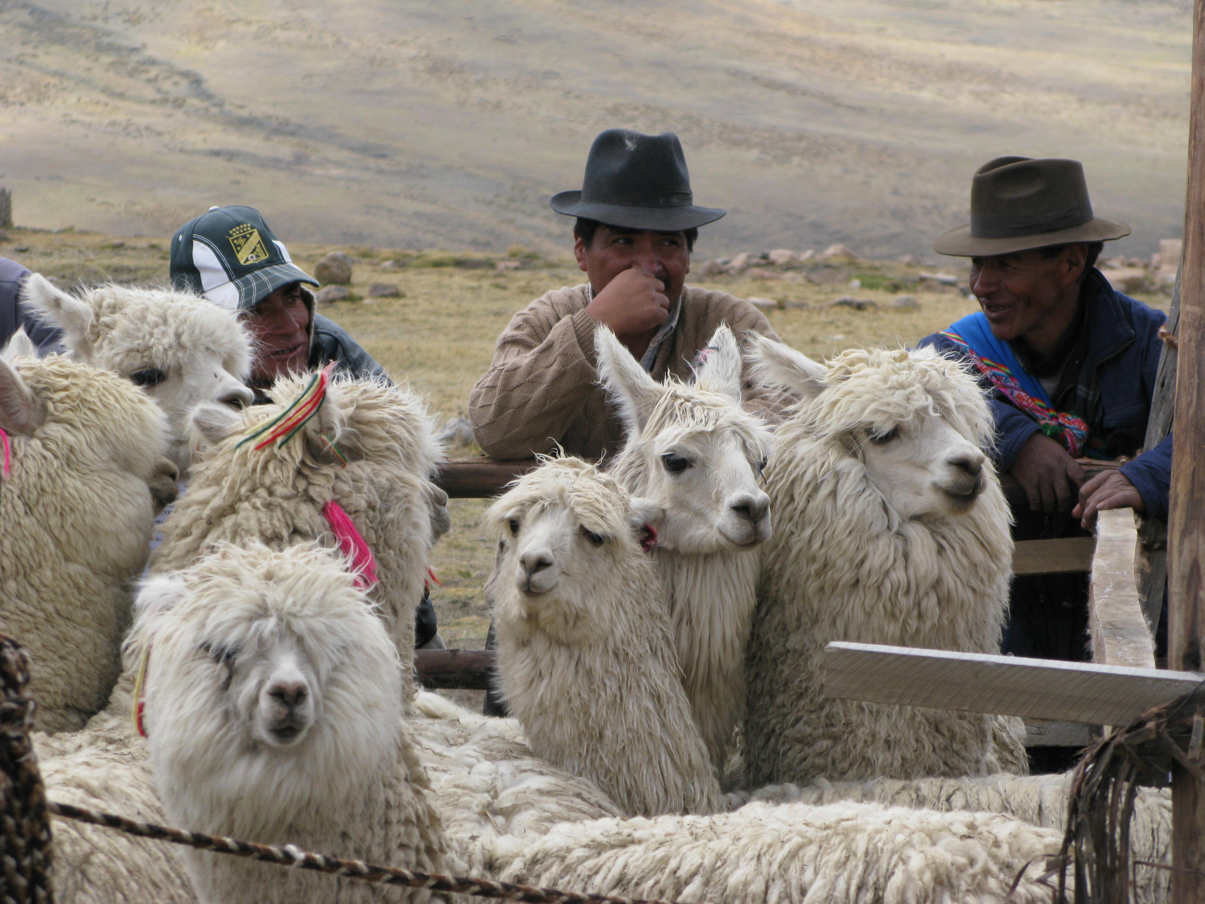 Gardiens d'alpaca_6329345224_o.jpg