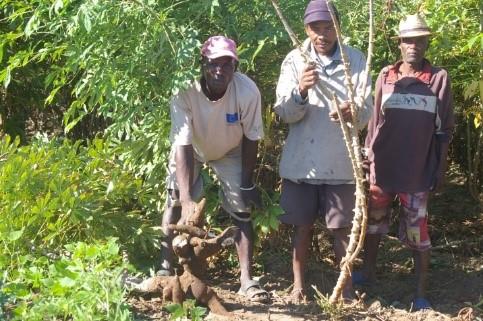 Madagascar_Manioc_billion_amélioré.jpg