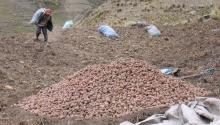 Semences paysannes de pommes de terre en Bolivie Vignette