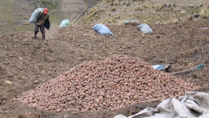 Semences paysannes de pommes de terre en Bolivie Image principale