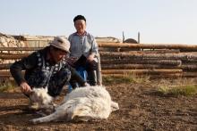 Un cachemire durable en Mongolie Vignette