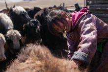 La fibre de yack pour préserver l'environnement en Mongolie Vignette