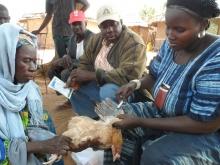 Elevage et santé animale à Tombouctou au Mali Vignette