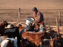Une filière de fibre de cachemire durable en Mongolie Vignette