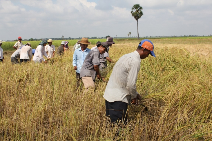 Une filière rizicole mieux structurée au Cambodge - en-gb -> à traduire Image principale