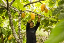 Renforcement des capacités des indiens Awajun producteurs de cacao au Pérou   Vignette