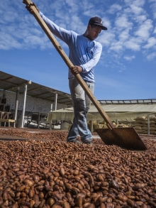 Réhabilitation post-séisme de la production de cacao en Equateur Vignette