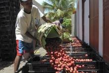 À Madagascar, la transformation du litchi pour réduire le gaspillage Vignette