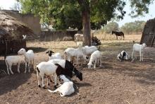 Développement économique local du département de Matam au Sénégal grâce à l'embouche ovine Vignette