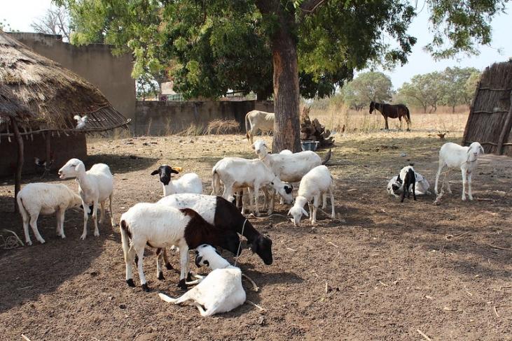 Développement économique local du département de Matam au Sénégal grâce à l'embouche ovine Image principale