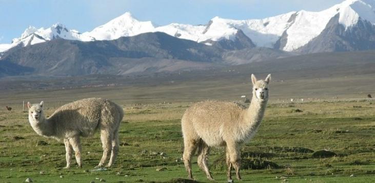 Ficha de proyecto alpacas - Coopalsur CuscoI  Image principale