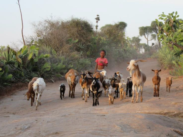Madagascar_troupeau_petits_ruminants.jpg