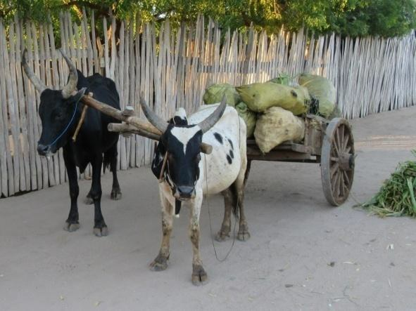 Madagascar_Zébus_Attelage.jpg