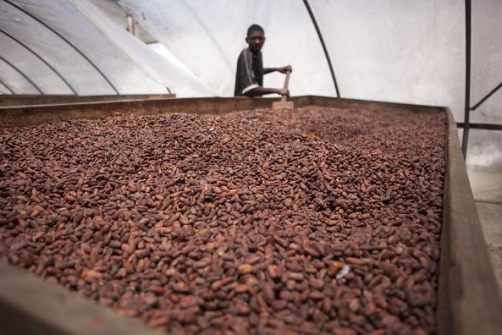 Des techniques agricoles et agroforestières innovantes pour le cacao en Haïti Image principale