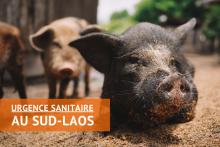 Urgence Peste Porcine Africaine au Sud-Laos Vignette