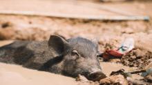 La peste porcine africaine, l'autre pandémie au Sud Laos Vignette