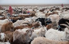 Un système de production intégré de Cachemire Durable en Mongolie Vignette