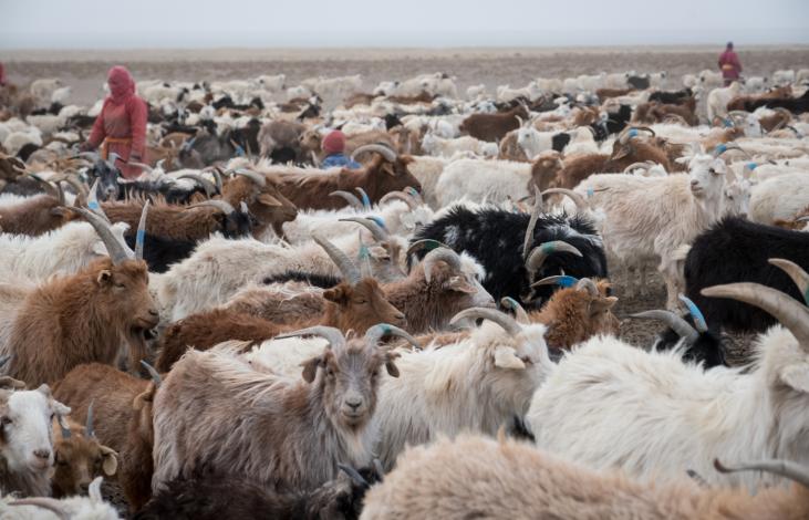 Un système de production intégré de Cachemire Durable en Mongolie Image principale