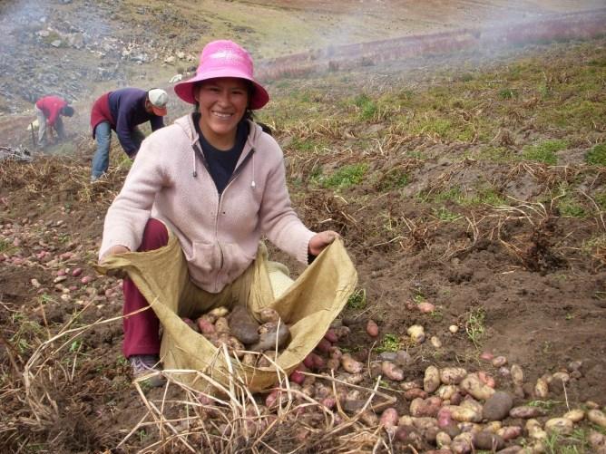 Pommes de terres et commerce équitable au Pérou Image principale