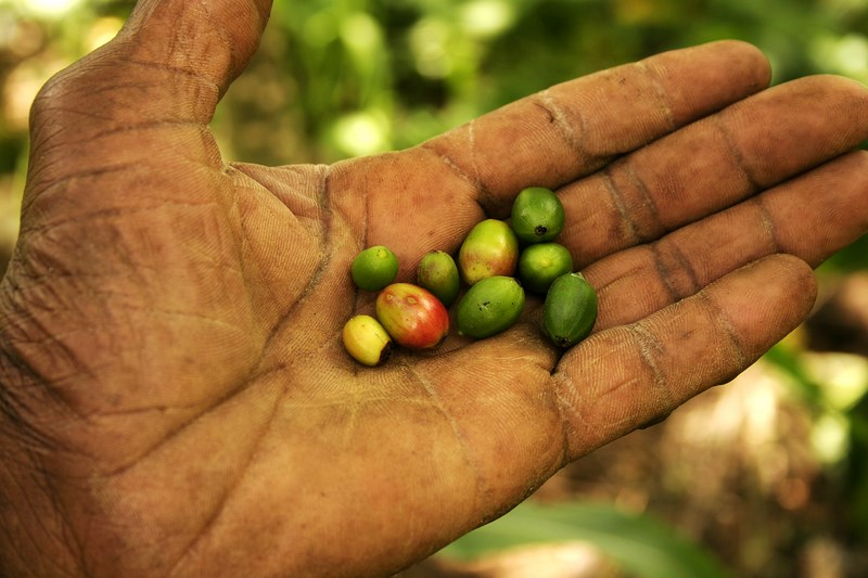 Graines de café Belle Anse Haiti_6476399177_o.jpg