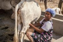 Production laitière paysanne au Sud Sénégal Vignette