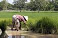 Les banques de riz au Cambodge Vignette